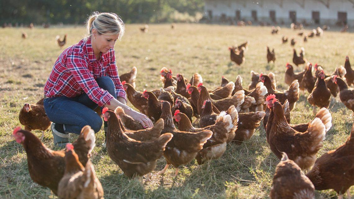Quels sont les critères d'un élevage de poulet traditionnels ?